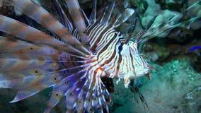 Lionfish die over een koraalrif hangen Het duiken in het rode overzees Egypte stock video