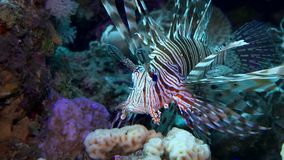Lionfish die over een koraalrif hangen Het duiken in het rode overzees Egypte stock footage