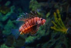 Lionfish die in water zwemt Royalty-vrije Stock Fotografie