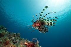 Lionfish e oceano. Fotografia de Stock