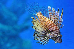 Lionfish in een aquarium Stock Foto