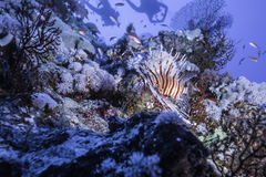Lionfish at Elphinstone Reef Stock Photos