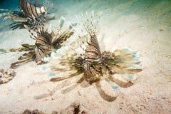 Lionfish em uma caça da noite imagem de stock royalty free