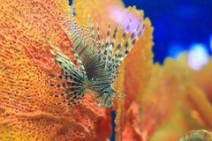 Lionfish en coralina Imagenes de archivo