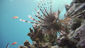 Lionfish en el arrecife de coral subacuático almacen de metraje de vídeo