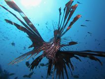 Lionfish en el Mar Rojo Imagen de archivo
