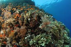Lionfish en un filón coralino tropical en el Mar Rojo foto de archivo