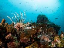 Lionfish et récif coralien Image libre de droits