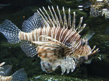 Lionfish. On exhibit at the Georgia Aquarium stock photos
