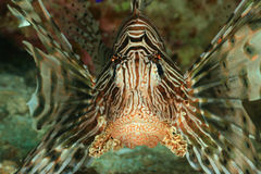 Lionfish face Royalty Free Stock Photography