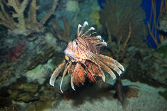 Lionfish family Scorpaenidae Stock Images