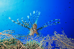 Lionfish and Fan Coral Stock Photography