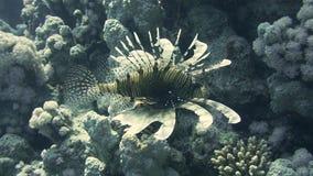 Lionfish fra i piccoli pesci variopinti nella barriera corallina subacquea stock footage
