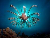 Lionfish framme av solen arkivbild