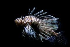 Lionfish, full shot. Lionfish, common lionfish, red lionfish, close up, full shot Stock Image
