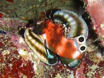 Lionfish gêmeo do ponto Imagens de Stock Royalty Free