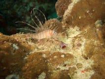 Lionfish giovanile (speci del Pterois) Immagine Stock