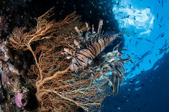 Lionfish and Gorgonian. A lionfish (Pterois volitans) hovers next to a gorgonian on a reef in Raja Ampat, Indonesia. This remote region harbors the highest Royalty Free Stock Images
