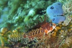 Lionfish gracioso fora do capelão Burgos, Leyte, Filipinas Foto de Stock Royalty Free