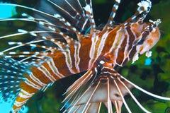 Lionfish gracioso fora do capelão Burgos, Leyte, Filipinas Imagem de Stock