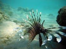 Lionfish grande de los pescados en el fondo del mar Imagenes de archivo