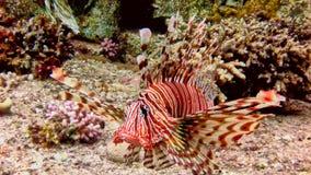 Lionfish grande en el Mar Rojo fotografía de archivo libre de regalías