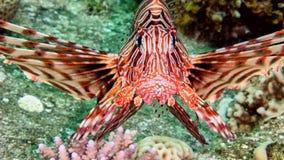 Lionfish grande en el Mar Rojo foto de archivo libre de regalías