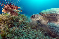 Lionfish and a green turtle in the Red Sea. Royalty Free Stock Photos