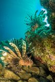 Lionfish Hangout Royalty Free Stock Photo