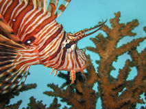 Lionfish head profile Royalty Free Stock Images