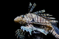 Lionfish, head shot. Lionfish, common lionfish, red lionfish, close up, head shot Royalty Free Stock Photos