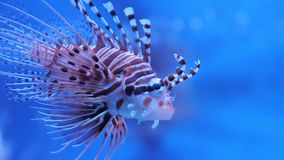 Lionfish in het overzees of het aquarium stock footage