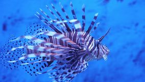 Lionfish in het overzees of het aquarium stock videobeelden