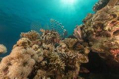 Lionfish in het Rode Overzees stock afbeeldingen