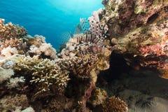 Lionfish in het Rode Overzees stock foto