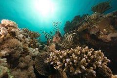 Lionfish in het Rode Overzees royalty-vrije stock foto's