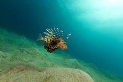Lionfish in het Rode Overzees stock afbeelding