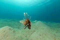 Lionfish in het Rode Overzees stock foto's