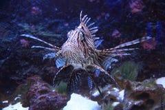 lionfish in het zeewater Stock Foto