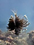 Lionfish Hovering stock images