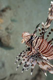 Lionfish Hunting! Stock Photo