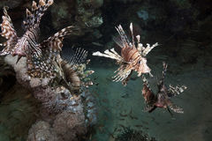 Lionfish hunting! Stock Photos