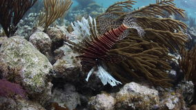 Lionfish Hunting on Caribbean Coral Reef stock video