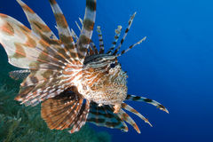 Lionfish hunts over seagrasse Royalty Free Stock Photos