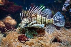 Lionfish i akvarium Arkivbild