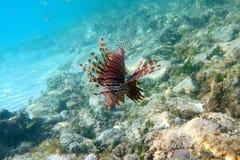 Lionfish i den Cayo cocoen Arkivfoto