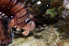 Lionfish i det röda havet för de. Royaltyfri Foto