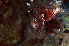Lionfish i det röda havet för de. Arkivfoton