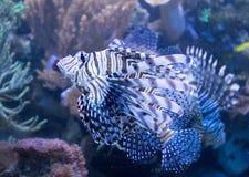 Lionfish i ett tropiskt hav Royaltyfri Bild