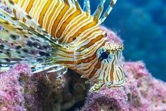 Lionfish i havet Fotografering för Bildbyråer